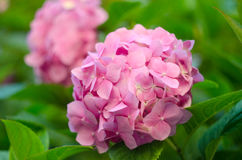 Close-up of Hydrangea flowers. Beautiful bush of hydrangea flowers in a garden. Pink hydrangea. Hortensia flowers Stock Images