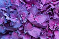 Purple hydrangea background Stock Image