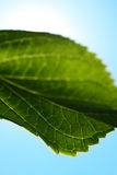 Close up of a Hydrangea leaf Stock Images
