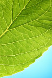 Close up of a Hydrangea leaf Royalty Free Stock Images