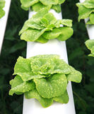 Close  up hydroponics vegetable with water dew Stock Photo