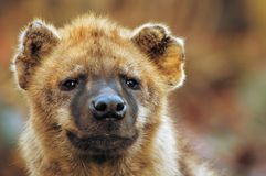 Close-up of a hyena Royalty Free Stock Photo