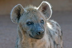 Close-up of hyena Royalty Free Stock Images
