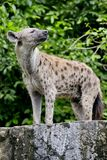 Close up of a Hyena Stock Images