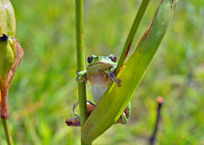 Hyla (tree toad) 12 Royalty Free Stock Images