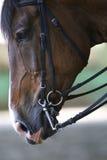 Close up Hyper do cavalo de corrida novo bonito Fotografia de Stock