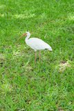 Close-up of a ibis bird standing in a grassland Royalty Free Stock Photos