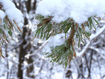 Close-up Ice covering a Pine tree branch-Stock photos Stock Images