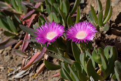 Close-up of the ice plant flowering. On the Mediterranean coast Carpobrotus has spread out rapidly and now parts of the coastline are completely covered by this Stock Photos