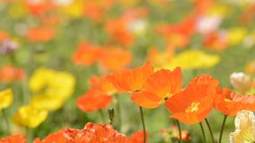 Close up iceland poppy stock video footage