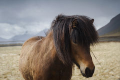 Close up of an Icelandic brown horse on a field. Horizontal front view of an Icelandic brown horse with long mane with dark clouds in the background Stock Image