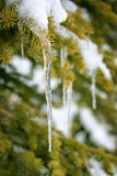 Close up of an icicle hanging on a snowy pine tree branch Stock Photo