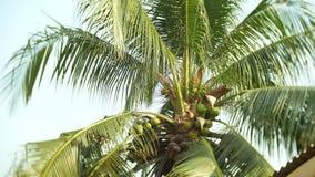 Close-up, ideia da parte inferior do coco na parte superior da palma, palma de coco 4K filme