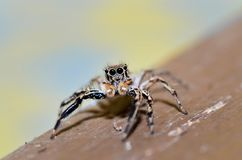 Close up if jumping spider, family Salticidae resting on a wood. stock image