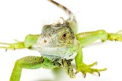 Close up of an iguana. Iguana isolated on a white background royalty free stock images