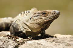 Close-up of an Iguana Stock Photography