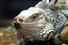 Close up iguana Stock Images