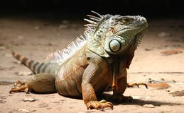 Close-up of a Iguana Royalty Free Stock Images