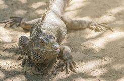 Iguana on the beach. Close up iguana on the beach. Iguana looking aside. Selected focus and warm light Royalty Free Stock Photography