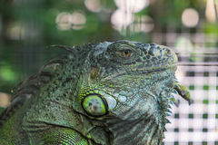 Close-up Iguana in the cage, with beautiful Bokeh background Stock Photography
