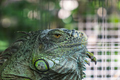 Close-up Iguana in the cage, with beautiful Bokeh background Royalty Free Stock Images