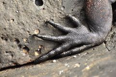A close up of an iguana claw. Galapagos Islands, Ecuador royalty free stock photography