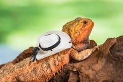 Iguana. Close up of Iguana Lizard waring hat Royalty Free Stock Images
