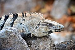 Close up of an iguana in Mexico. Close up view of an iguana in Mexico Royalty Free Stock Photos