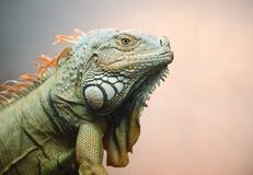 Close-up of Iguana Royalty Free Stock Images