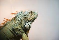 Close-up of Iguana Royalty Free Stock Photo