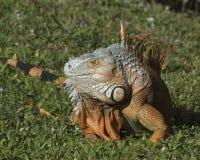 Close Up Iguana Profile Stock Photos