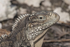 Close up of an iguana Stock Photos