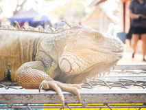 Close up of iguana Stock Photos
