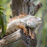 Close up Iguana Stock Photos