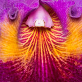 Close up III da orquídea Foto de Stock