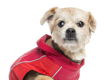 Close up of a ill dressed Crossbreed dog, isolate. D on white Royalty Free Stock Photo