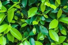 Close up a iluminar-se e obscuridade - o verde deixa o fundo Foto de Stock