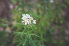 Close-up image of Achillea millefolium, known commonly as yarrow. White Wildflower. stock photography