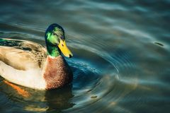 An adult Male Mallard Duck. Close up image of an adult Male Mallard Duck with copy space Royalty Free Stock Images