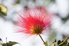 A single Albizia julibrissin flower royalty free stock image