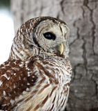 Close up image of a barred owl Stock Image