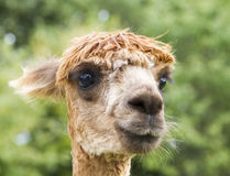 Close up image of Alpaca Stock Photography