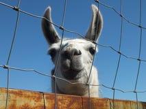 White alpaca Royalty Free Stock Image