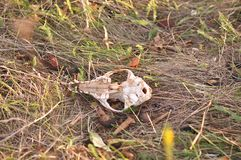 Animal skull. Close-up image of an animal skull Royalty Free Stock Images