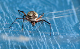 Close up image of an Argiope aurantia spider Royalty Free Stock Image