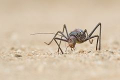 Close up image of an armour plated ground cricket. Namibia. Macro shot. On rocky ground. Searching for food royalty free stock photography