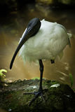 Black Head Ibis. Stock Image