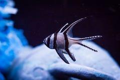 Banggai Cardinalfish, Pterapogon kauderni, in Captivity. Close up image of a banggai cardinalfish, Pterapogon kauderni, kept in a captive aquarium stock photo