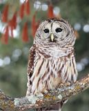 Close up image of a barred owl Royalty Free Stock Photography