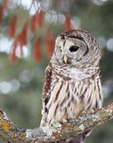 Close up image of a barred owl Stock Images